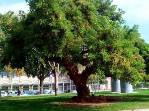 Árbol superviviente