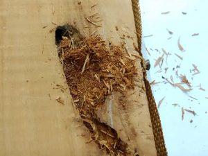Xilófagos hambrientos de buena madera
